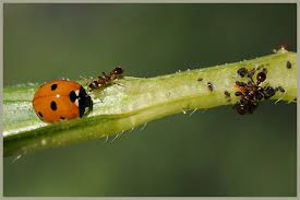 Biologische bestrijding bladluis